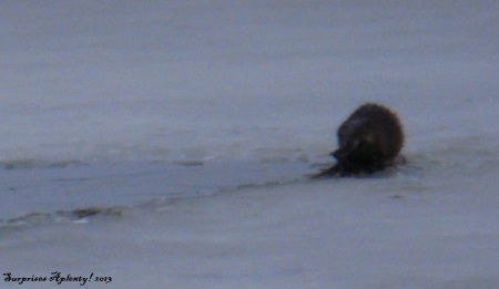 April 10 Otter And Muskrat (3) b