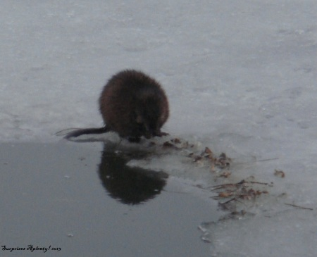 April 10 Otter And Muskrat (6) b